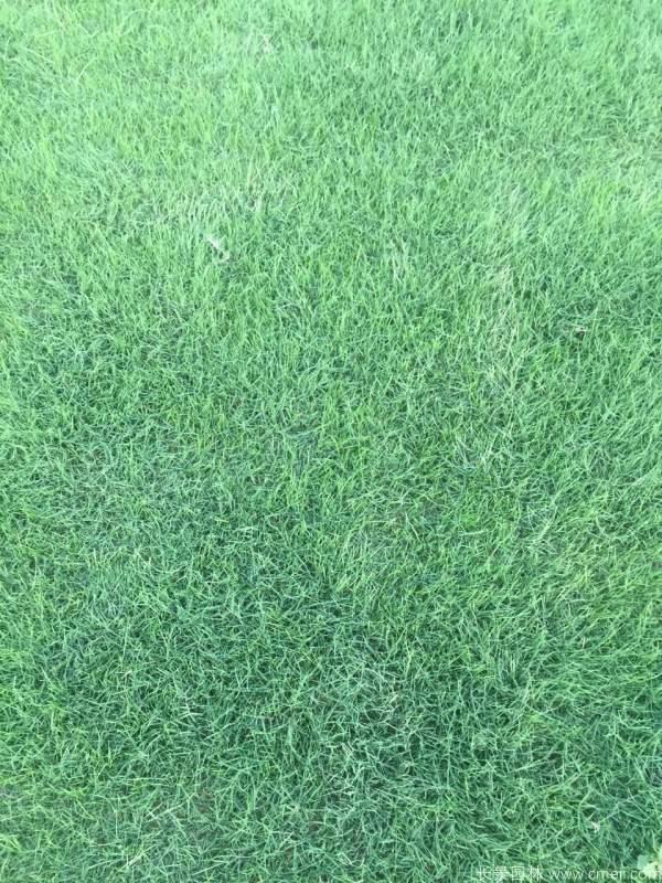 马尼拉草坪图片基地实拍