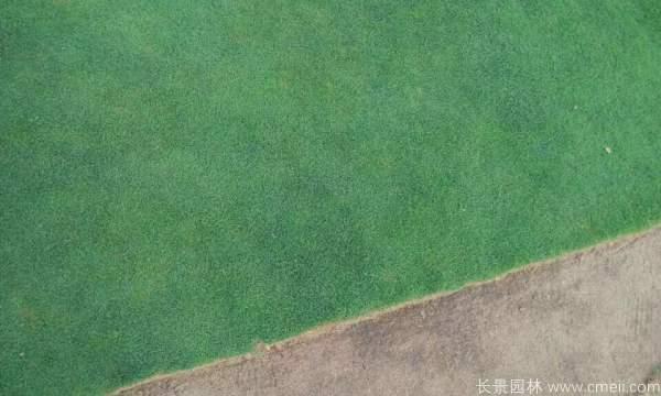 马尼拉草坪基地实拍图片