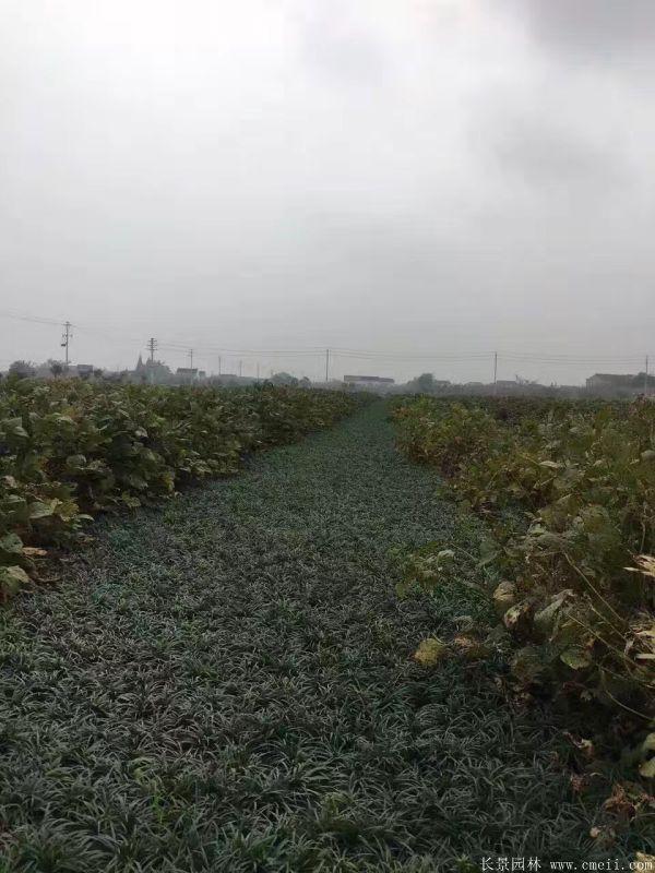 矮麦冬基地实拍图片
