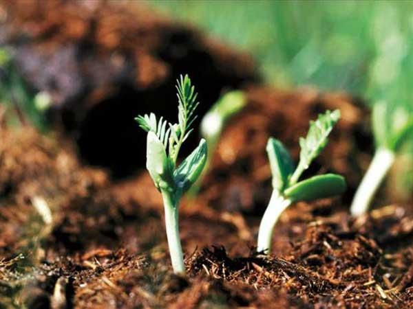 银合欢种子发芽出苗图片