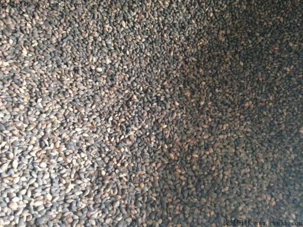 黑松种子图片