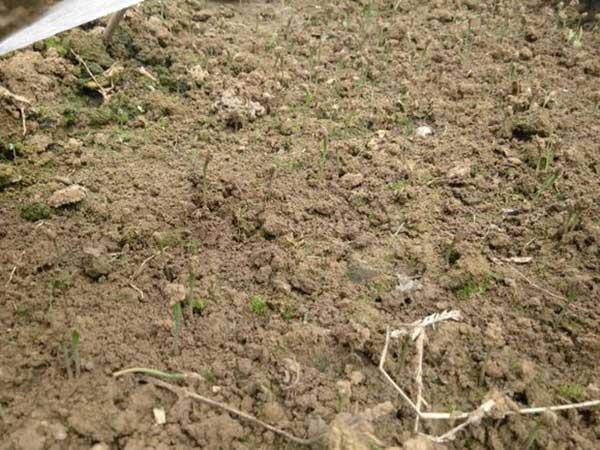 黑松种子发芽出苗图片