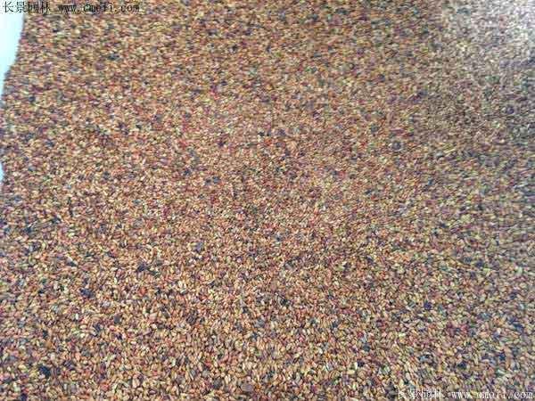 黄刺玫种子图片