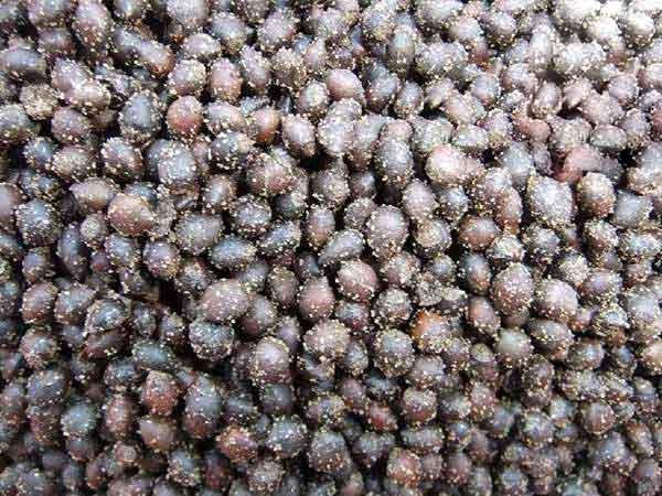 红豆杉种子图片
