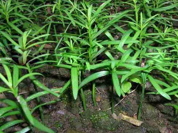 红豆杉种子发芽图片