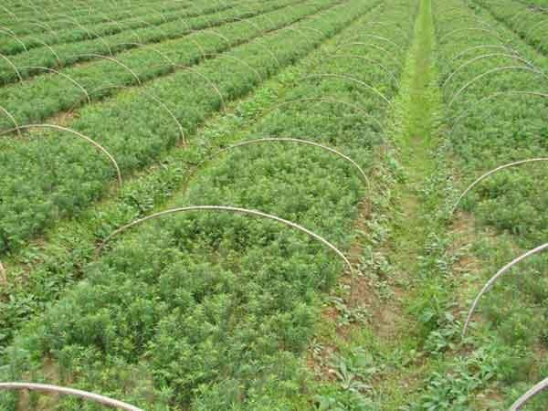 红豆杉小苗图片