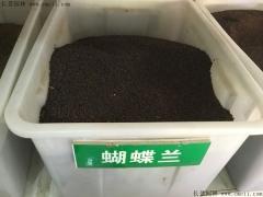 蝴蝶兰种子