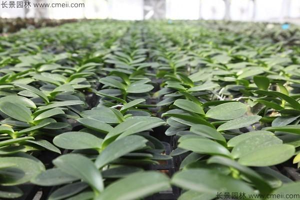 蝴蝶兰种子发芽小苗图片