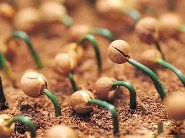 罗汉松种子发芽图片