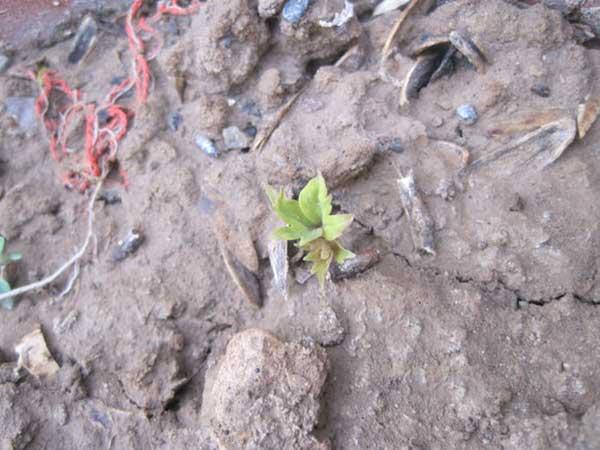 牡丹种子催芽出芽图片