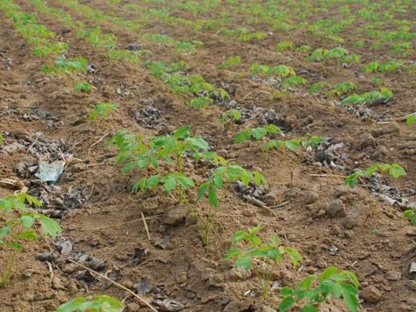 芍药种子催芽出芽图片