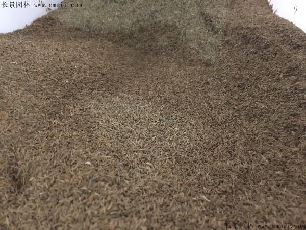 蒲公英种子图片