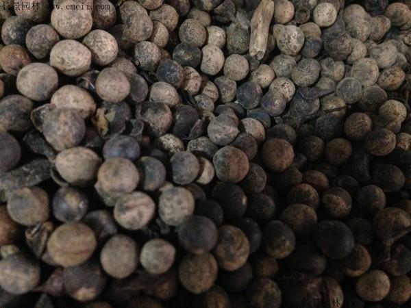 香樟树种子图片