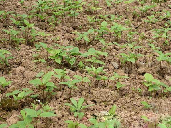 香樟树种子发芽出苗图片