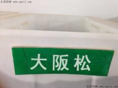 大阪松种子