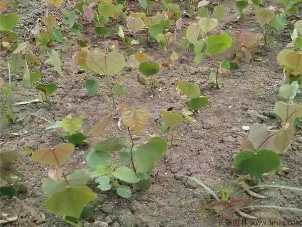 紫荆种子发芽出苗图片