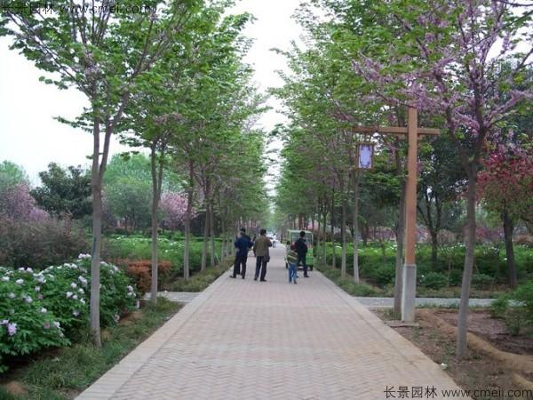 紫荆树图片