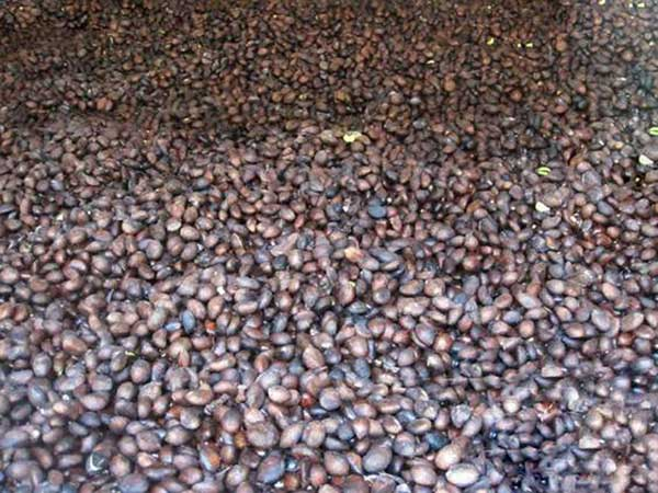 枇杷种子图片