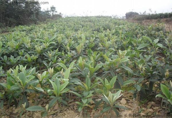 枇杷种子发芽出苗图片