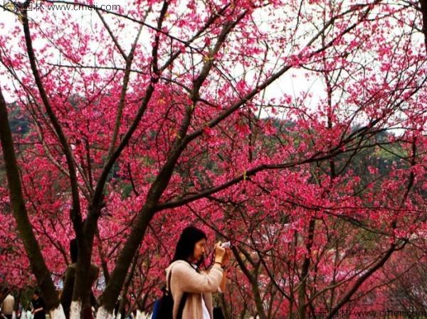 樱花种子出苗发芽图片