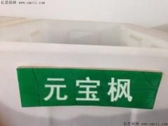 元宝枫种子