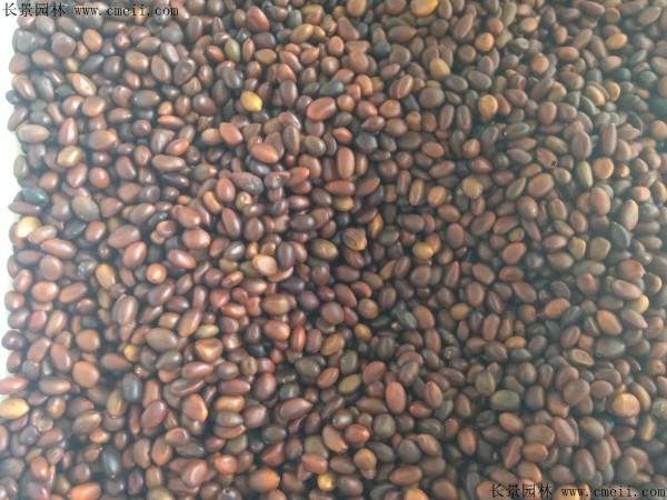 皂角种子图片