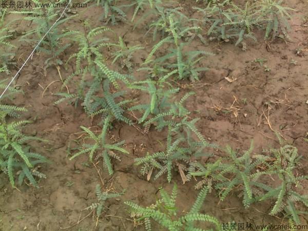 皂角种子发芽出苗图片
