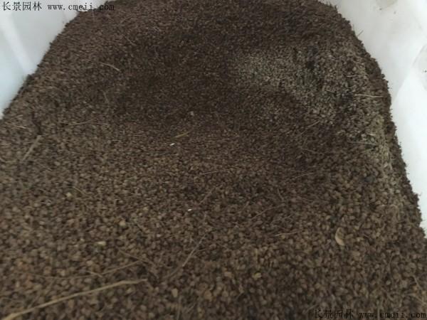 珍珠梅种子图片