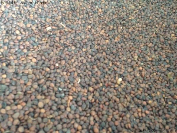 紫荆种子图片