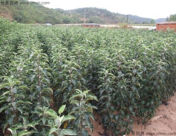 苹果种子发芽出苗图片