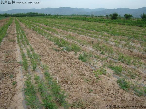 酸枣种子发芽出苗图片