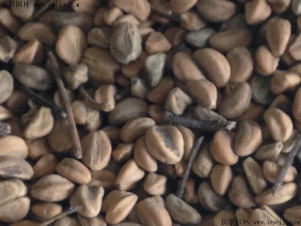 山楂种子图片
