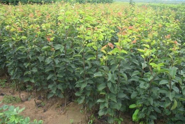 梨树种子发芽出苗图片