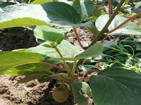 猕猴桃种子发芽出苗图片