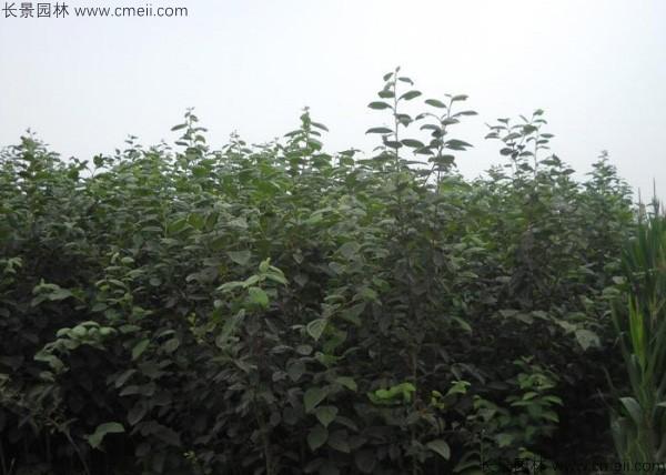柿树种子发芽出苗图片