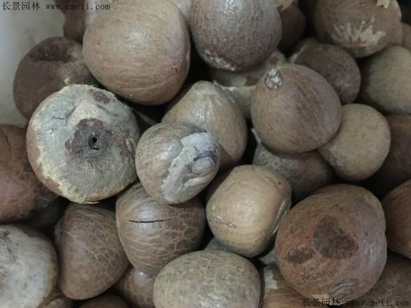 槟榔种子图片
