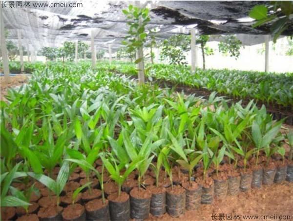 槟榔种子发芽出苗图片