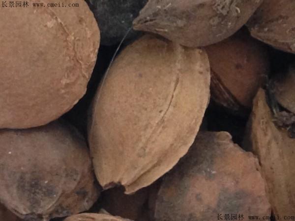 杏树种子图片