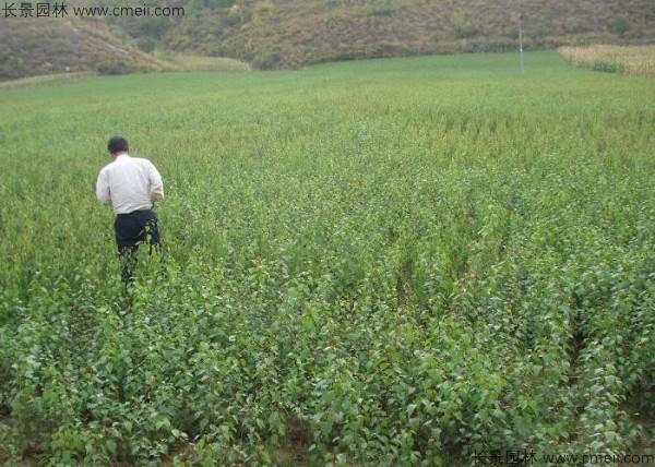 杏树种子发芽出苗图片