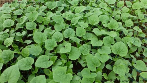哈密瓜种子发芽出苗图片