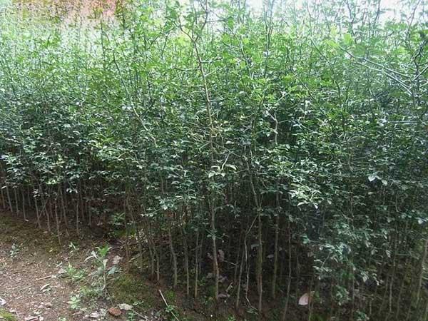 枸桔种子发芽出苗图片