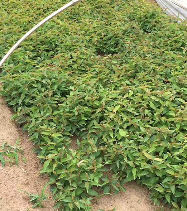 山樱桃种子发芽出苗图片