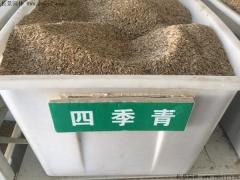 四季青草种子