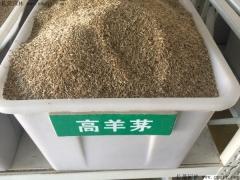 高羊茅种子