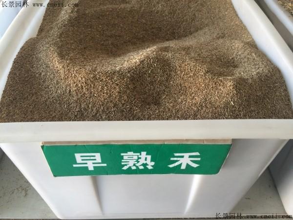 早熟禾种子图片