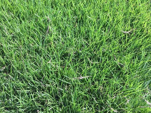 百慕大种子发芽出苗图片