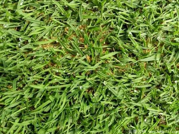 剪股颖草坪图片