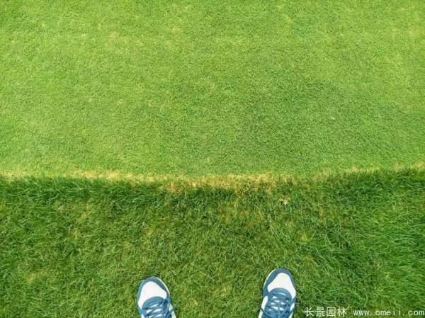 天堂草种子发芽出苗草坪图片