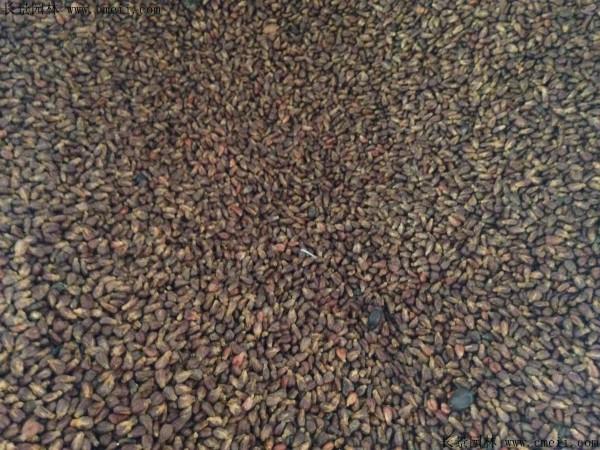 葡萄种子图片