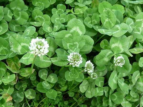 白三叶种子发芽出苗图片